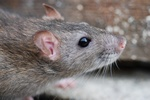 Bruine rat (Rattus norvegicus)